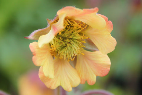 Delicate yellow orange flower of Geum Rusty Young