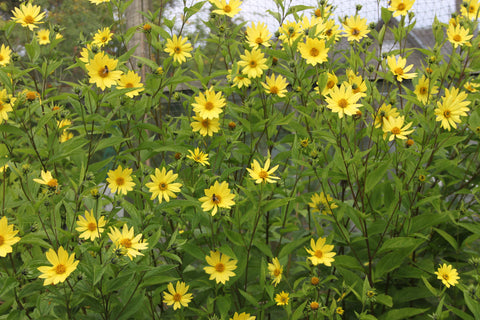 Profusion of small yellow flowers of Helianthus Lemon Queen