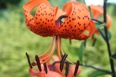 Lilium lancifolium (Tiger Lily) - Multibuy offer 3 for £10