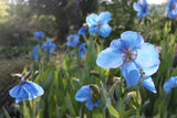 Blue flowers of Meconopsis Lingholm