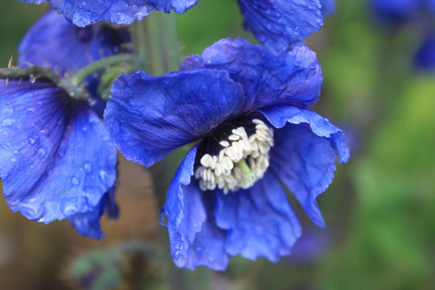 Meconopsis horridula (seed)  SALE now only £1 per packet