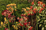 Primula florindae hybrids (Giant Himalayan Cowslip)