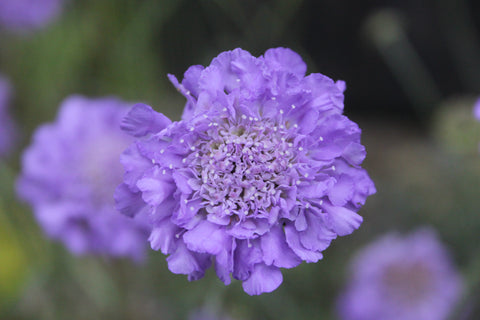 Blue flower of Scabiosa Blue Butterflies