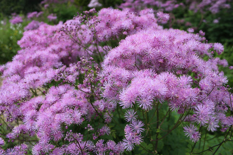 Thalictrum aquilegiifolium 'Black Stockings' (Meadow Rue)