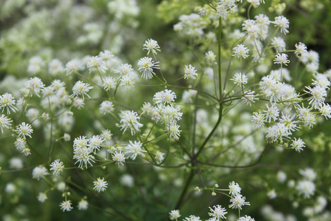 Thalictrum pubescens (polygamum) (Tall Meadow Rue)