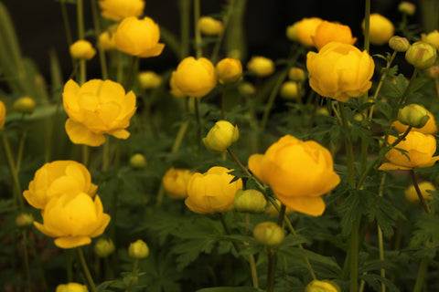Trollius europaeus (seed) SALE now only £1 per packet