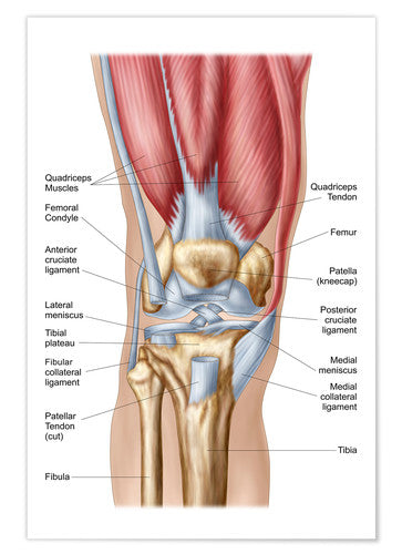 knee structure detailed