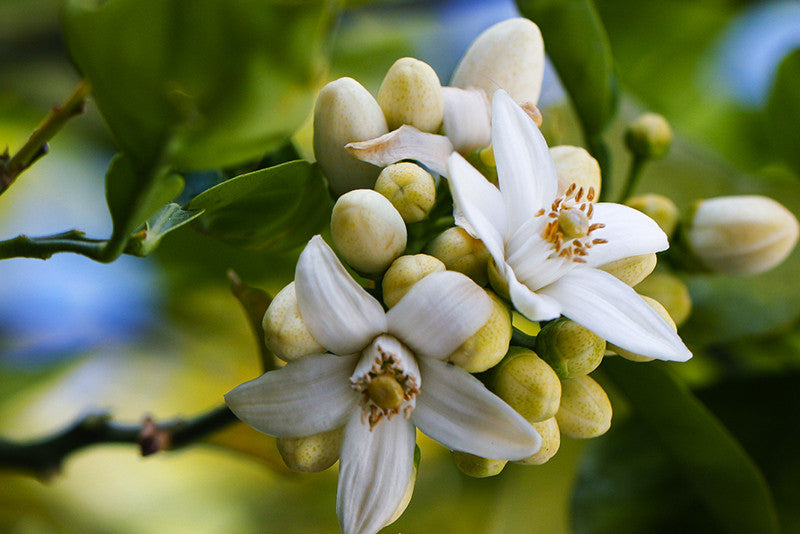 Flower Types of the Divine Feminine (Part Two: Neroli and Ylang Ylang) –  Tazeka Aromatherapy