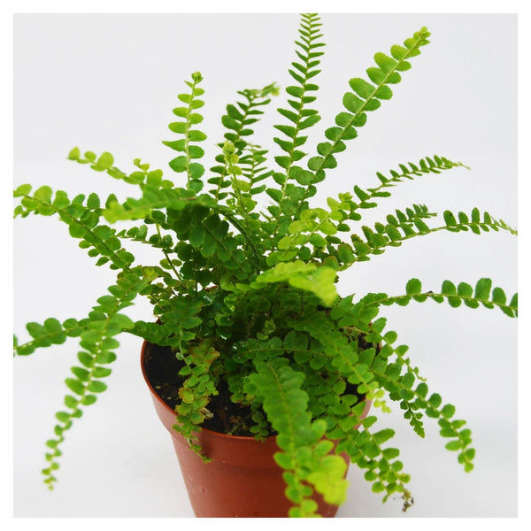A Care Guide for a Lemon Button Fern