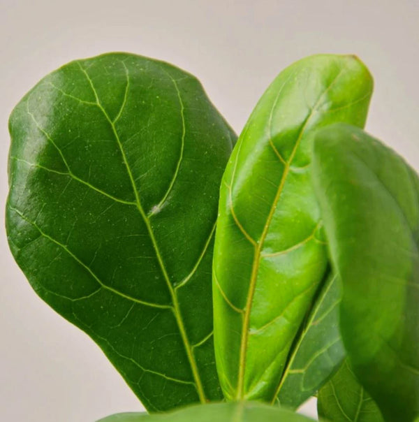 A Guide to Caring for a Ficus Lyrata Fiddle Leaf Fig