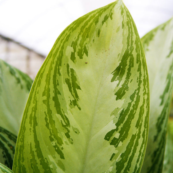 Chinese Evergreen Care Guide