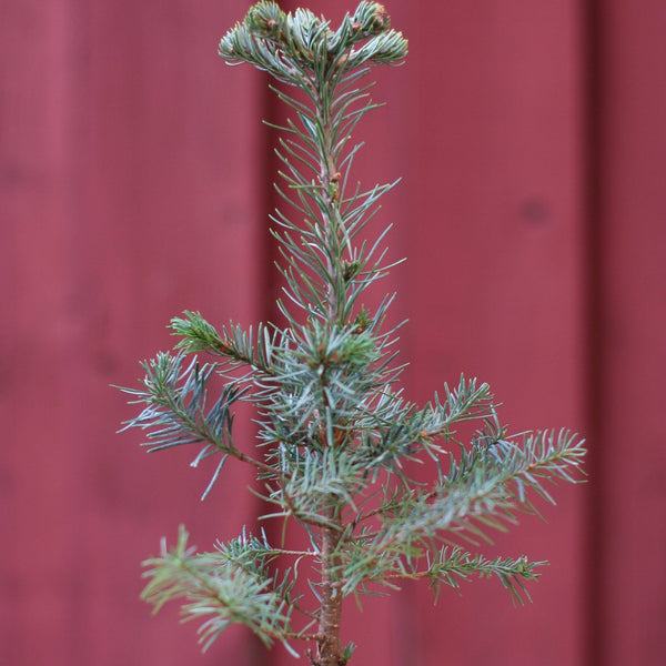 Why You Should Get a Living Tabletop Christmas Tree This Year
