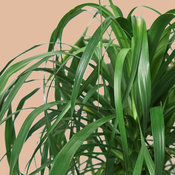 "10"" Ponytail Palm Cellar Door Plants"