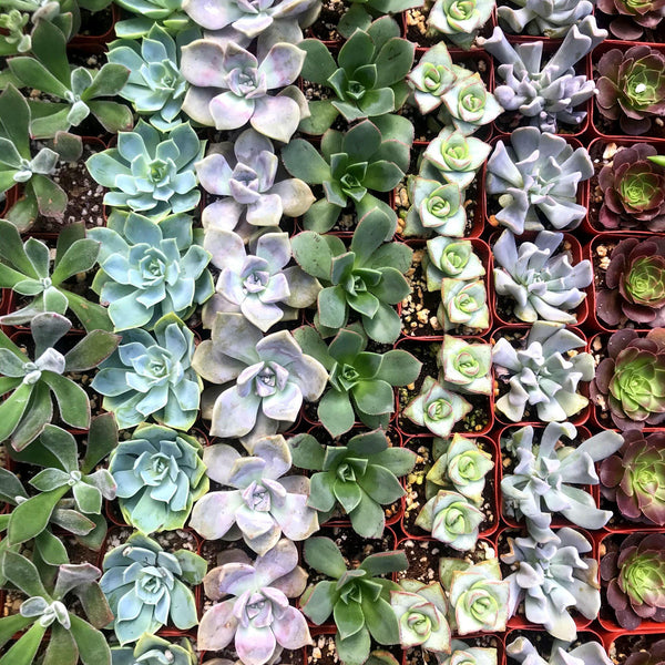 "2"" Succulent 2"" Succulent - Cellar Door Plants Cellar Door Plants"