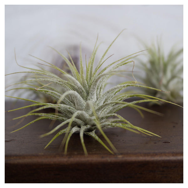 3 Ionantha Guatemala Air Plants 3 Ionantha Guatemala Air Plants - Cellar Door PlantsHome & Garden House Plant Shop