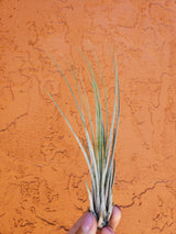 3 Tillandsia Air Plants 3 Tillandsia Air Plants - Cellar Door PlantsAir PLants House Plant Shop