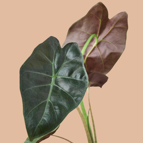 Alocasia Wentii Indoor Plants House Plant Shop