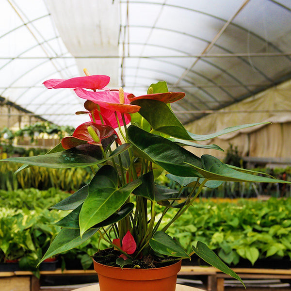 Anthuriums Anthuriums - Cellar Door PlantsHome & Garden House Plant Shop