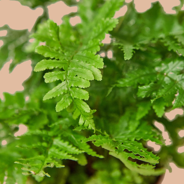 Autumn Fern Home & Garden House Plant Shop