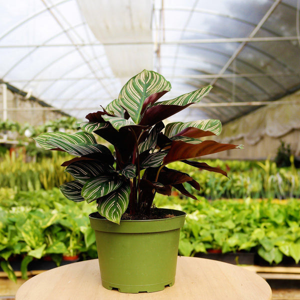 Calathea Ornata Calathea Ornata - Cellar Door PlantsHome & Garden House Plant Shop