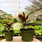 "Calathea 'Peacock' Calathea 'Peacock' - Cellar Door Plants4"" Plant House Plant Shop"