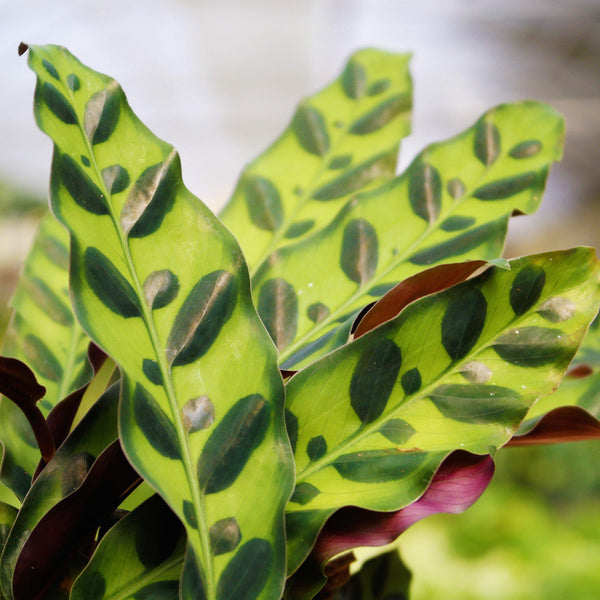 Calathea Rattlesnake Calathea Rattlesnake - Cellar Door Plants Cellar Door Plants