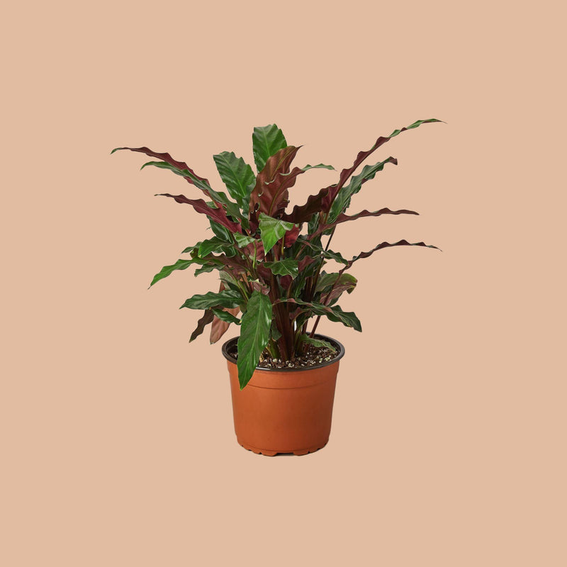 "Calathea Rufibarba 'Furry Feather' 4"" Plant House Plant Shop 6"""