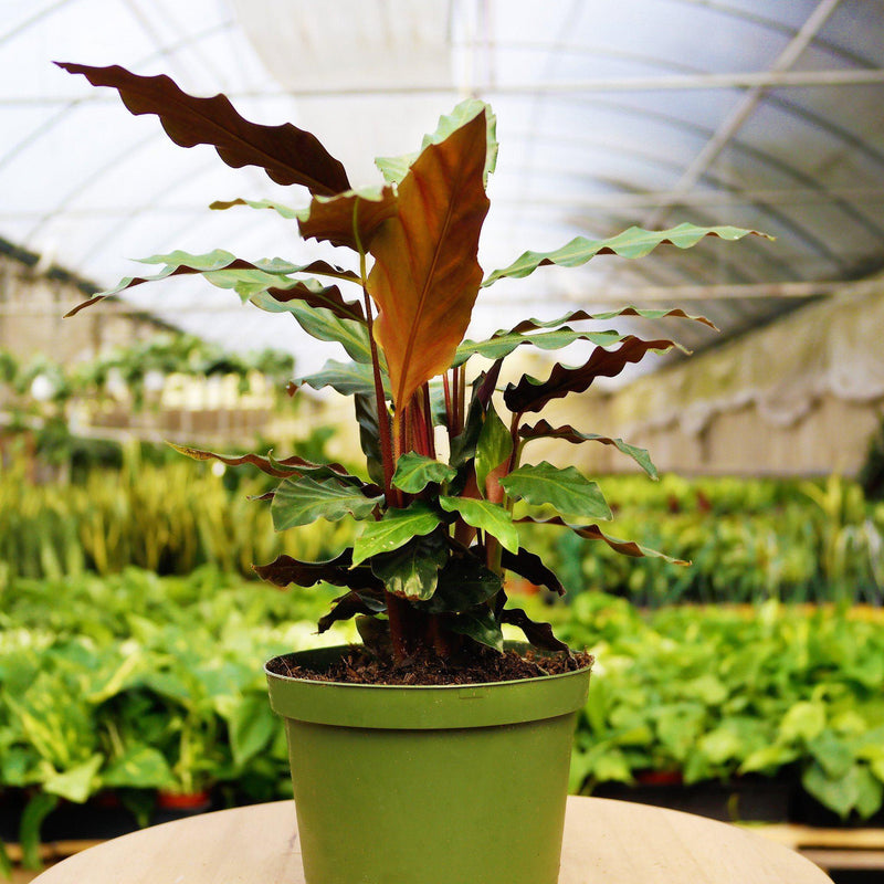 "Calathea Rufibarba 'Furry Feather' Calathea Rufibarba 'Furry Feather' - Cellar Door Plants4"" Plant House Plant Shop 6"""