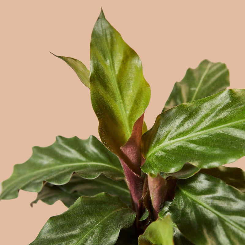 "Calathea Rufibarba 'Furry Feather' 4"" Plant House Plant Shop"