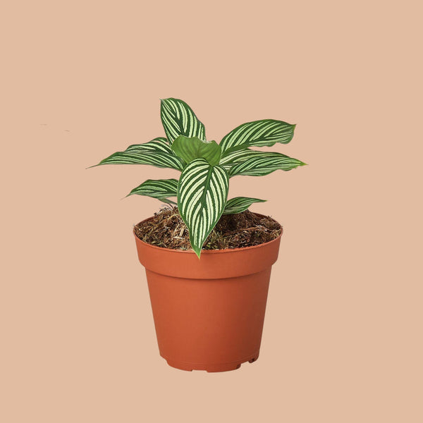 Calathea Vittata Indoor Plants House Plant Shop