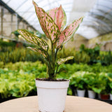 Chinese Evergreen Lady Valentine Chinese Evergreen Lady Valentine - Cellar Door PlantsHome & Garden House Plant Shop