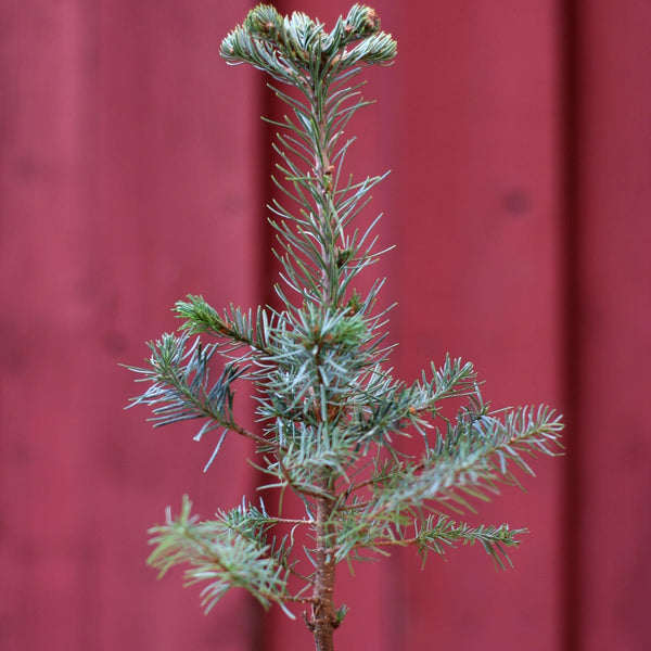 Mini Christmas Trees Mini Christmas Trees - Cellar Door Plants Cellar Door Plants Noble Fir