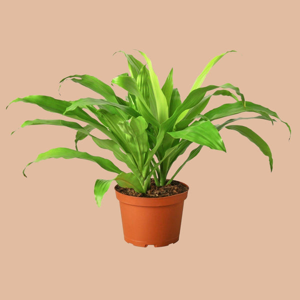 Dracaena Lime Light Indoor Plants House Plant Shop