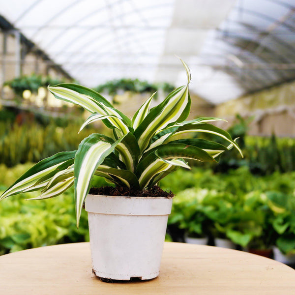 "Dracaena Malaika Dracaena Malaika - Cellar Door Plants4"" Plant House Plant Shop"