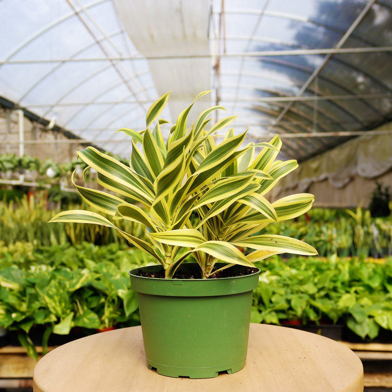 "Dracaena 'Song of India' Dracaena 'Song of India' - Cellar Door PlantsHome & Garden House Plant Shop 6"" / Nursery Pot"
