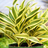 Dracaena 'Song of India' Dracaena 'Song of India' - Cellar Door PlantsHome & Garden House Plant Shop