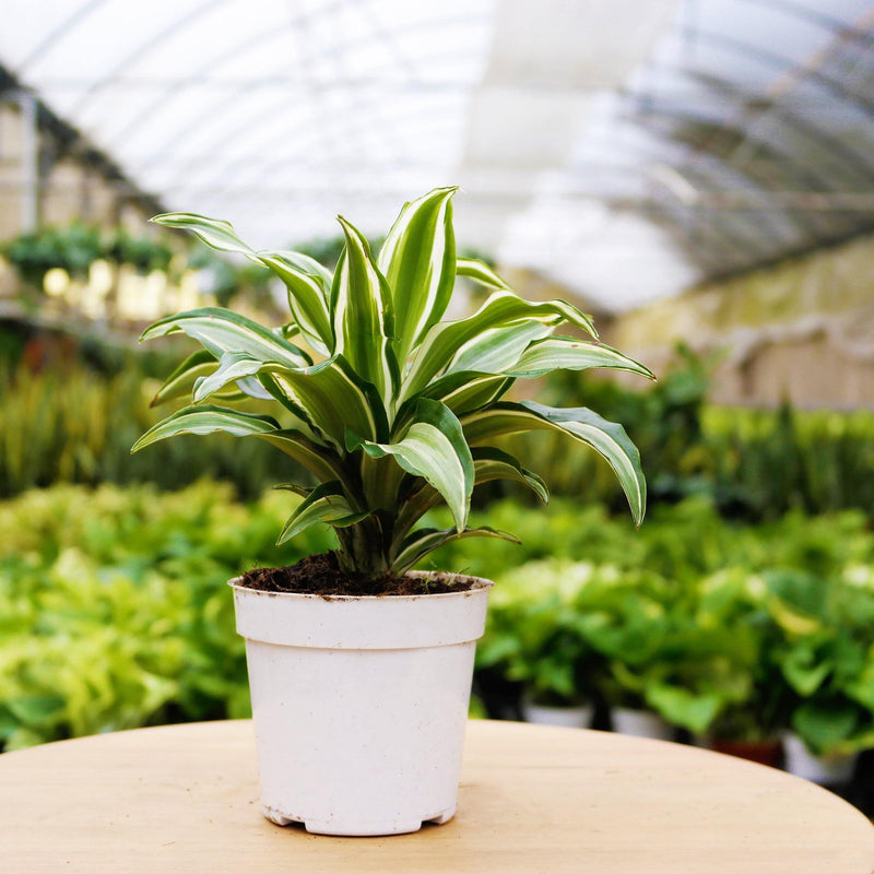Dracaena 'Warneckii White Jewel' Dracaena 'Warneckii White Jewel' - Cellar Door PlantsHome & Garden House Plant Shop