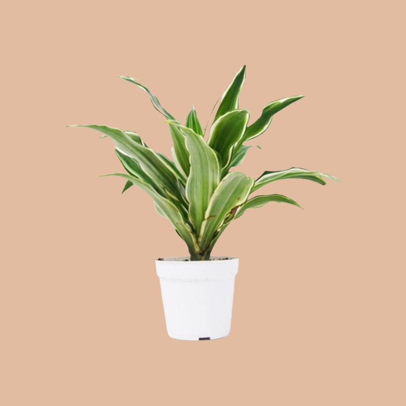 Dracaena 'Warneckii White Jewel' Home & Garden House Plant Shop 4""