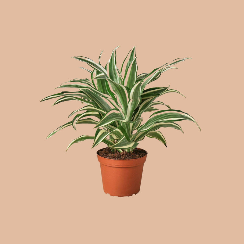Dracaena 'Warneckii White Jewel' Home & Garden House Plant Shop 6""