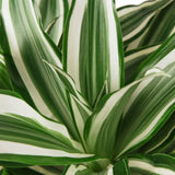 Dracaena 'Warneckii White Jewel' Home & Garden House Plant Shop