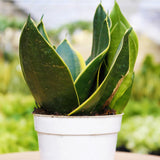 "Emerald Star Snake Plant Emerald Star Snake Plant - Cellar Door Plants4"" Plant House Plant Shop"