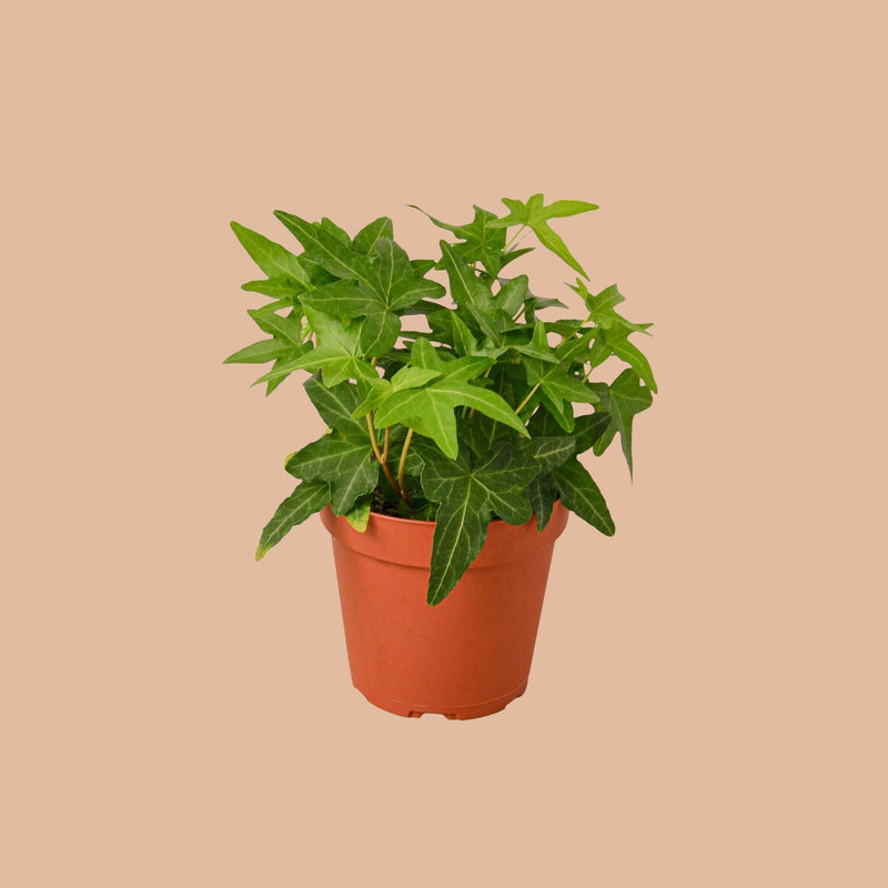 English Ivy Green California Home & Garden House Plant Shop