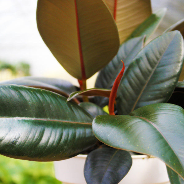 Ficus Elastica Burgundy 'Rubber Plant' Ficus Elastica Burgundy 'Rubber Plant' - Cellar Door PlantsDefault House Plant Shop
