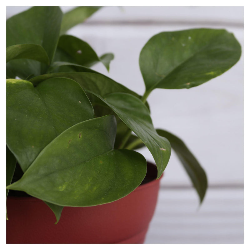 Golden Pothos Golden Pothos - Cellar Door PlantsHome & Garden House Plant Shop