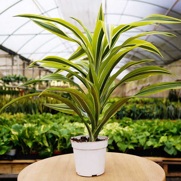 Lemon Surprise' Dracaena Deremensis 'Lemon Surprise' Dracaena Deremensis - Cellar Door PlantsDefault House Plant Shop
