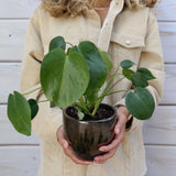 Monstera Split-Leaf Monstera Split-Leaf - Cellar Door PlantsHome & Garden House Plant Shop
