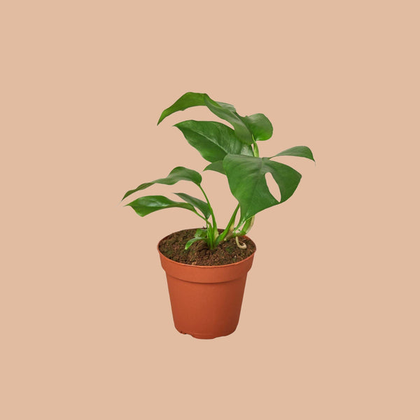 "Monstera Split-Leaf Minima 4"" Plant (1pk/$2) ($6 Ship/15oz) House Plant Shop"