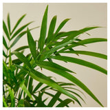 Parlor Palm Tree Parlor Palm Tree - Cellar Door PlantsHome & Garden House Plant Shop