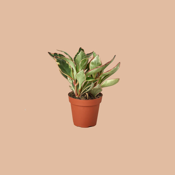 Peperomia 'Ginny' Indoor Plants House Plant Shop