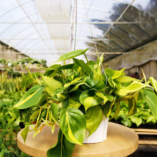Philodendron Brasil Philodendron Brasil - Cellar Door PlantsIndoor Plants House Plant Shop
